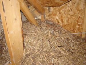Attic Bird Nest