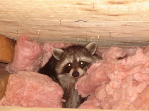 Mom raccoon in attic