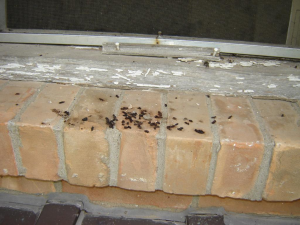 Bat droppings on window sill