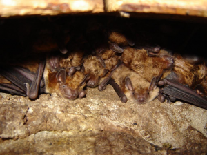 Maternal Colony of Big Brown Bats