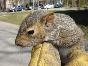 Juvenile Squirrel
